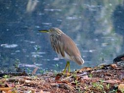 wild pond heron in India