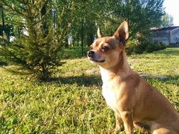 chihuahua sits on green grass