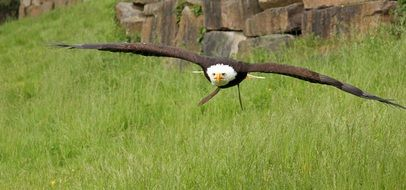 Bald Eagle flying above grass