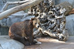 grizzly bear in the zoo aviary