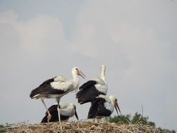 four young storks in the nest