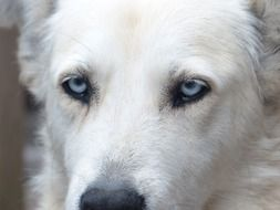 dog with light blue eyes