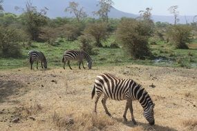 flock of zebras in tanzania