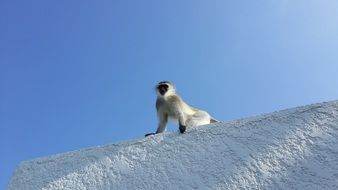 black face monkey on white wall