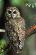 charming Northern Owl Predator