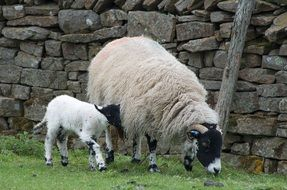 a sheep and a lamb near a stone wall