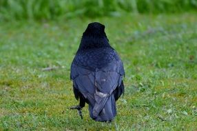 black raven on the grass