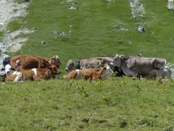 resting herd of cows