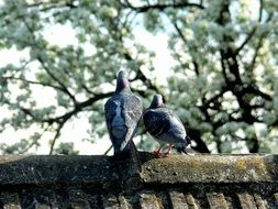 Pigeons on the stone
