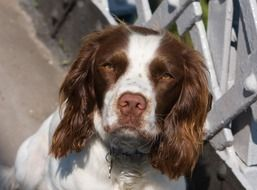 portrait of an english springer spaniel
