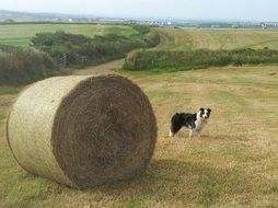 Hay Bale and sheepdog on a field