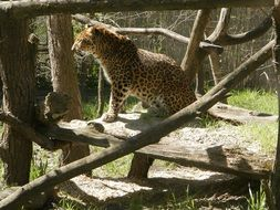 spotted leopard in the reserve