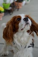 Cavalier King Charles Spaniel on the street on a leash