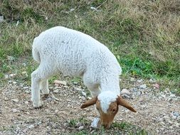 Lamb Sheep Animal Breeding