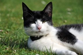 lazy black and white cat