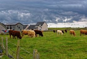 cattle on a green field on a ranch on the background of storm clouds
