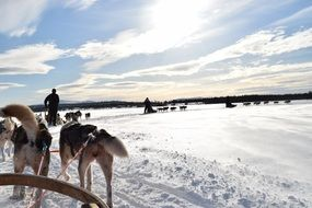 Sled Dogs Of Lapland