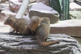 Mongoose in the zoo