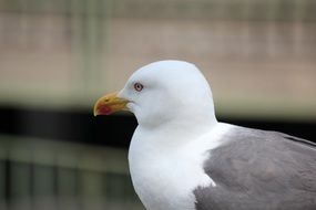 profile portrait of a wild seagull