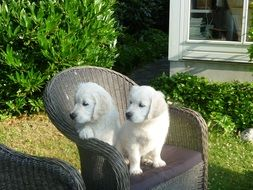 Golden Retriever Puppies in the chair