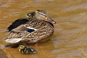 spotted duck with ducklings on the water close-up