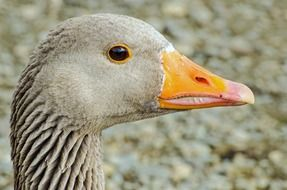 Goose Close-Up Eye