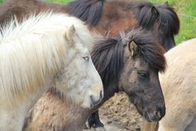 horses with fluffy mane