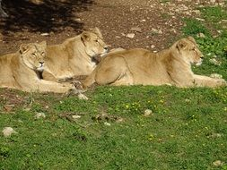 three lionesses in the savannah
