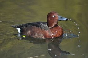 brown wild duck