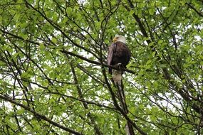 Eagle Sitting Proud Tree Bird