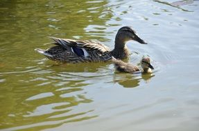 duck and duckling swim