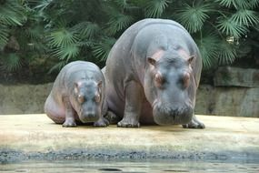 magnificent Hippos