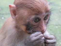 cute young macaque close-up on blurred background