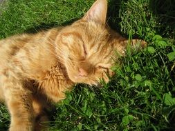 red cat is sleeping on the grass