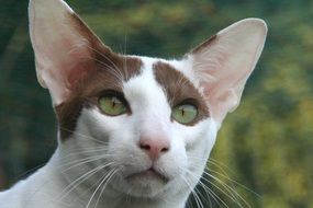 head of oriental shorthair cat close-up