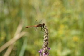 red dragonfly on the wild flower