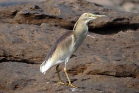 Indian pond heron in wildlife