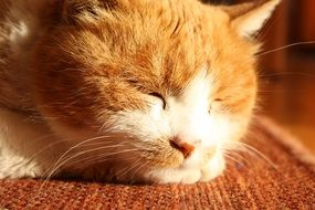 dozing sweet red and white cat