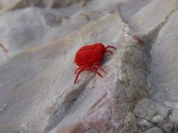 Red Bug Insect