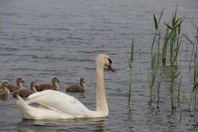 swan with cute cygnets