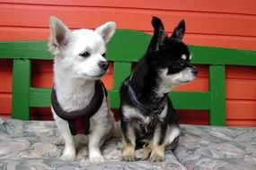Dogs Chihuahua black and white