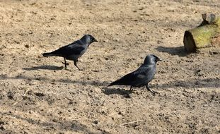 walking two black birds on a sand