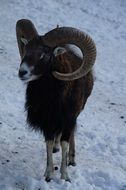 mouflon in winter fur