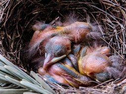 Young blackbirds sleep in a nest