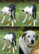 collage of spotted black and white dog