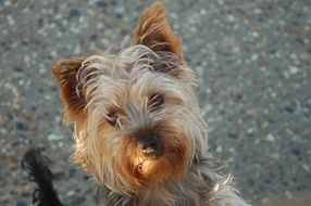 portrait of a sweet yorkshire terrier