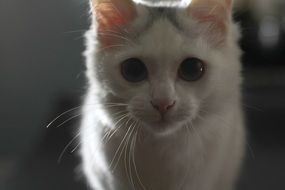 photo portrait of a white domestic kitten