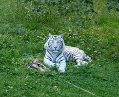 white tiger lies on green grass