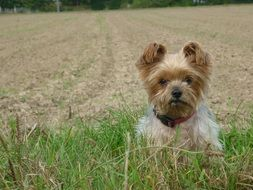 sweet Yorkshire Terrier in the field