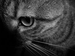 black white photo of a cat close up